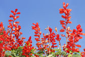 Red bright flowers — Stock Photo