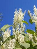 Pianta con piccoli fiori bianchi — Foto Stock