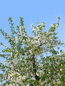 цветущее вишневое дерево — Стоковое фото