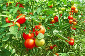Tomatoes in greenhouse — Stock Photo