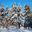 Firtrees covered with snow - Stock Photo