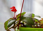 Red episcia — Stock Photo