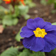 Blue Flower in Garden — Stock Photo