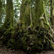 Nothofagus moorei or Antarctic Beech Trees - Stock Photo