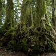 Stock Photo: Nothofagus moorei or Antarctic Beech Trees