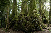 Nothofagus moorei or Antarctic Beech Trees — Stock Photo