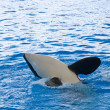 Orca whale Orcinus orca Show Loro Parque Tenerife  Canarian islands - Stock Photo