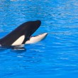 Orca whale Orcinus orca Show Loro Parque Tenerife Canarian islands — Stock Photo #10205540