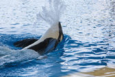 Orca whale Orcinus orca Show Loro Parque Tenerife Canarian islands — Stock Photo