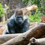 Big black monkey — Stock Photo #9590715