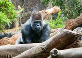 Big black monkey — Stock Photo