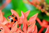 Lady bug — Stock Photo