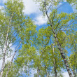 Upward view of birch forest — Stock Photo #10716800