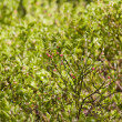 Bilberry bushes a close up — Stock Photo