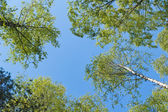 Upward view of birch forest — Stock Photo