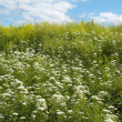 Stock Photo: Meadow flowers, close up