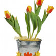 It is red yellow tulips in a bucket, it is isolated on white — Stock Photo #9569835