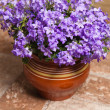 Campanula blue a close up — Stock Photo #9589638