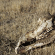 Stock Photo: Deer or cow skull rotting