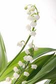 Květina, muguet — Stock fotografie
