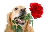 Perro y rose — Foto de Stock