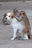 Monkeys checking for fleas and ticks in the dog — Stock Photo