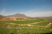 Grape farm — Stock Photo