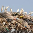 Egrets on the garbage heap - Stock Photo