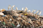 Egrets on the garbage heap — Stock Photo