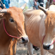 Thai cows - Foto de Stock