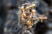 Red ants — Stock fotografie