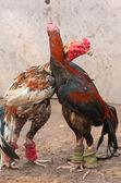 Fighting cock — Stock Photo