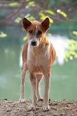Homeless stray Thai dog — Stock Photo