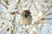Frozen sparrow — Stock Photo