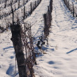 Snow in vineyard — Foto Stock #8894085