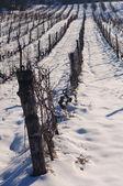 Snow in vineyard — Stock Photo