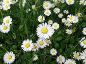 White delicated daisies — Zdjęcie stockowe