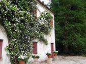 Woodbine rose on the wall old house — Stockfoto