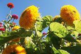 Sunflowers on blue sky background — Stock Photo