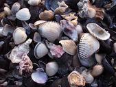 Seashells — Stok fotoğraf