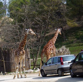 Giraffes cross the road — Stockfoto