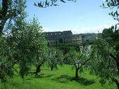 Olive grove in the background of the Colloseum in Rome — Stock Photo