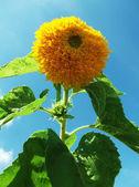 Decoratieve zonnebloem — Stockfoto