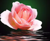 Rose on a background of water — Stock Photo