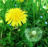 Dandelion among yellow dandelion — Stock Photo