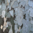 Platan tree bark texture — Stock Photo