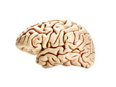 Brain isolated on white — Stock fotografie