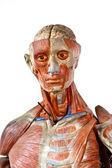 Grunge human anatomy — Stock Photo