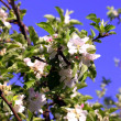 Blossom of the apple tree. - Stock Photo