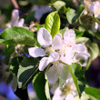Blossom of the apple tree — Stock Photo